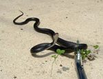 Garden Snake removal and Control