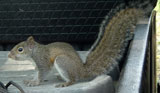 juv_squirrel_pest