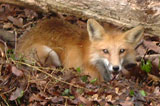 male_red_fox2