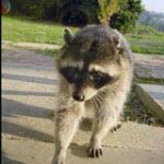 Lurking Raccoon