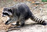Atlanta Professional Raccoon Removal and Trapping