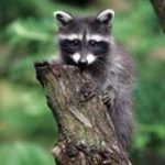 Baby Raccoon Removal from Climbing Tree