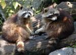 Raccoon Removal and Trappers in Atlanta