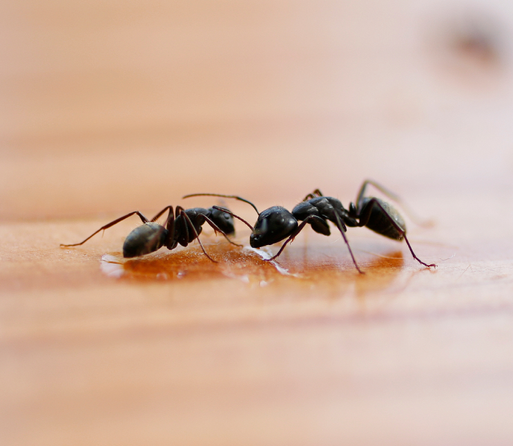 Argentine Ant Pest Control Service