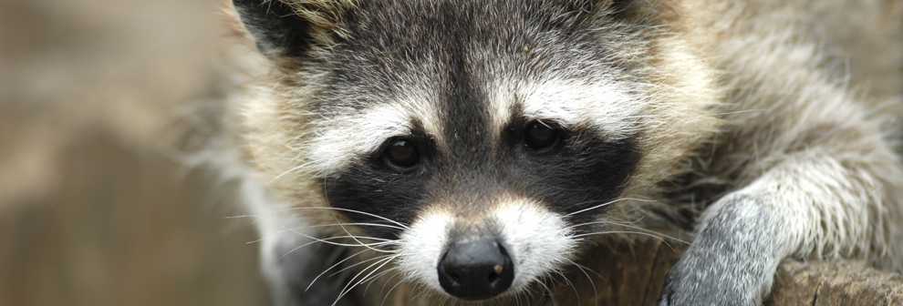 xracoon_Large