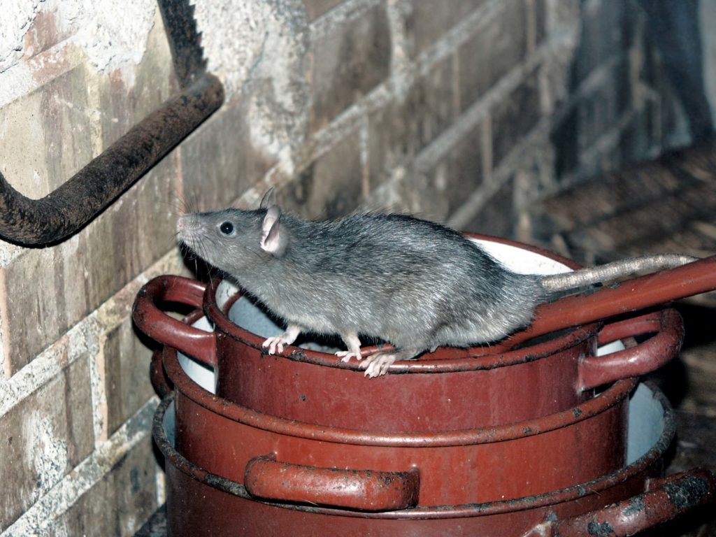 why-rodents-like-attics-in-the-winter